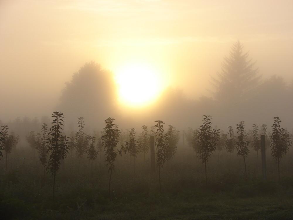verger sous la brume