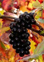 Vergessene Weintrauben