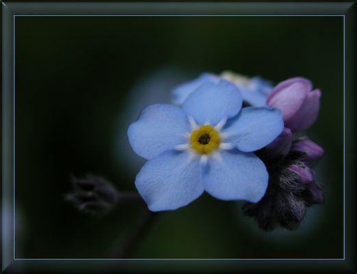 vergissmeinnicht oder die blaue Blume