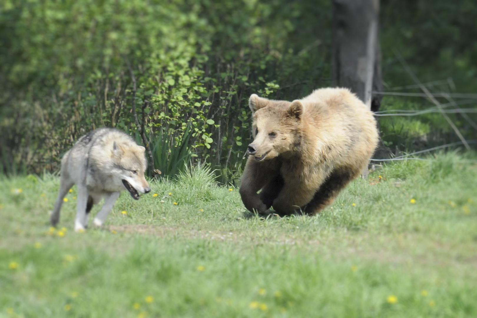 verkehrte Welt: Bär jagt Wolf
