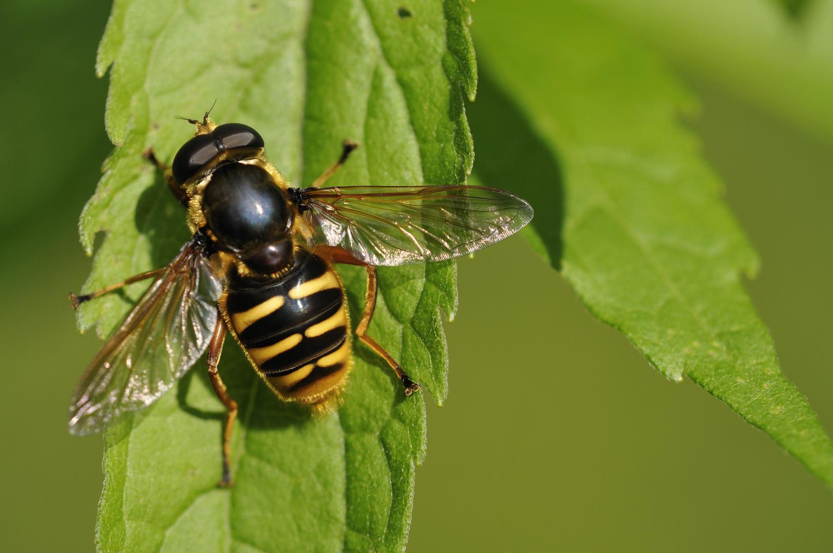 Verkleidete Fliege