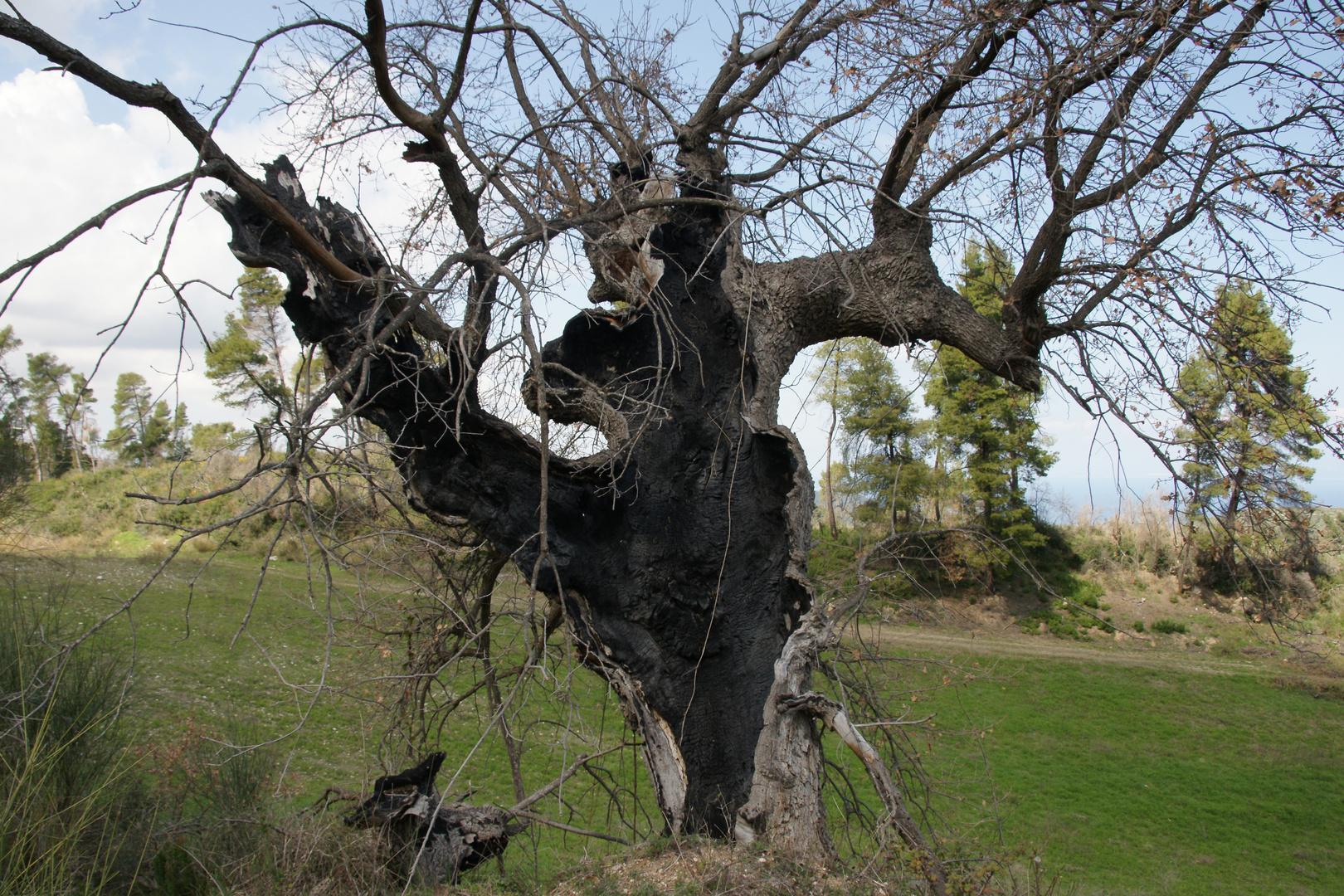 Verkohlter Olivenbaum