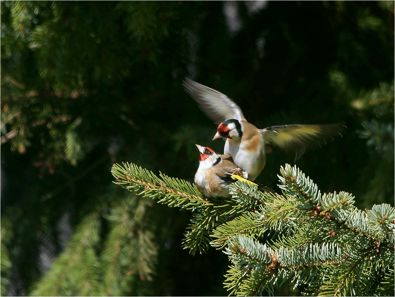 Verliebte Distelfinken - Stieglitze -