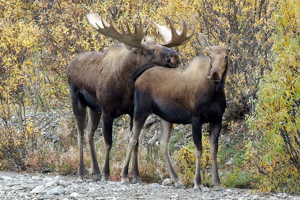Verliebtes Elchpaar im Denali Nationalpark - Alaska