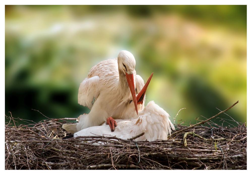 verliebtes Storchenpaar