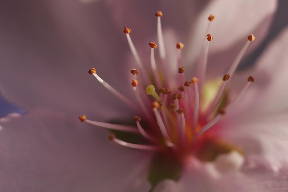 Verlockende Mandelblüte