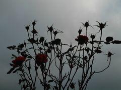 verlorene Rose