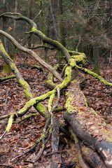 Vermooste Bäume im Wald