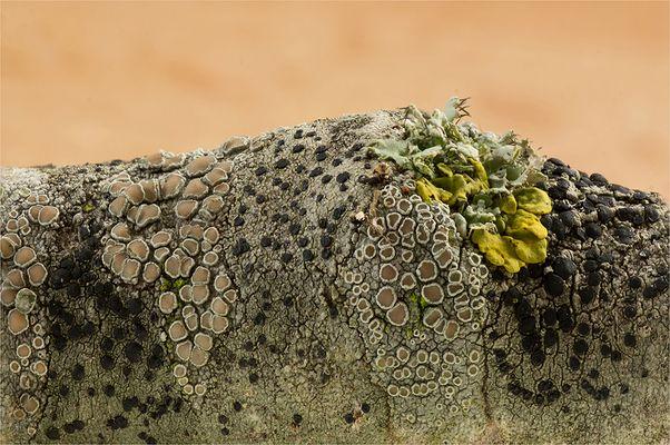 vermutl. Kuchenflechte (Lecanora spec.)