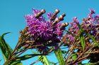 "Vernonia crinita ""Mammuth"""