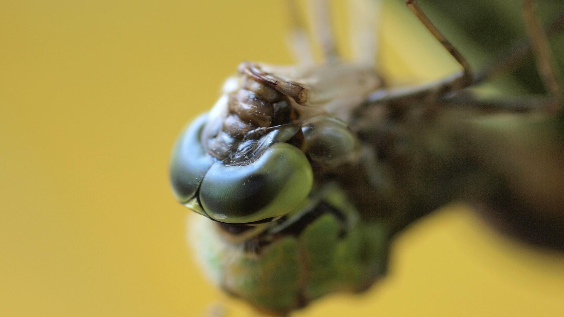 Verpuppende Libelle