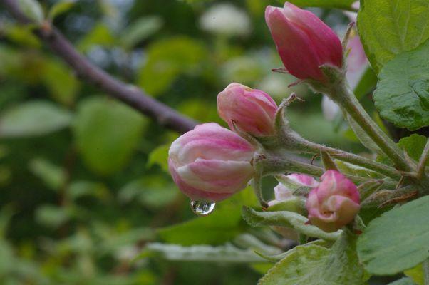 Verregnete Apfelblüte