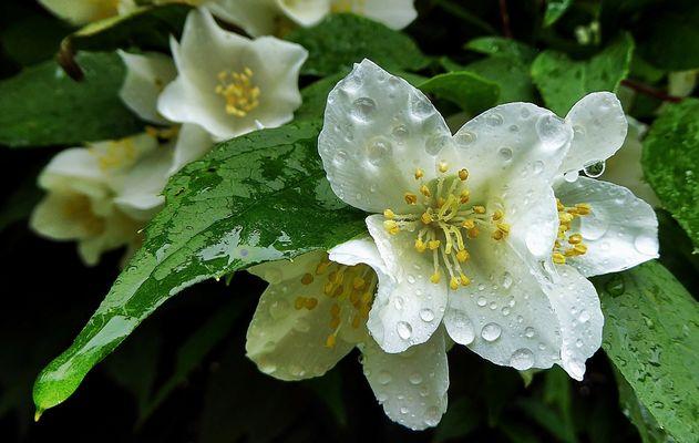 Verregnete Blüten