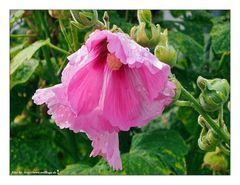 Verregnetes Mittwochsblümle....
