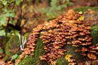 Verrotteter Baumstumpf als Nährboden für Pilze