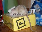 Versand - Ratte