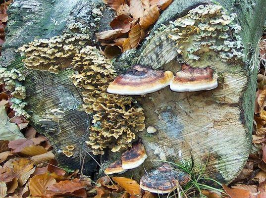 Verschiedene Pilze an Buche