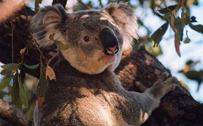 Verschlafener Koala