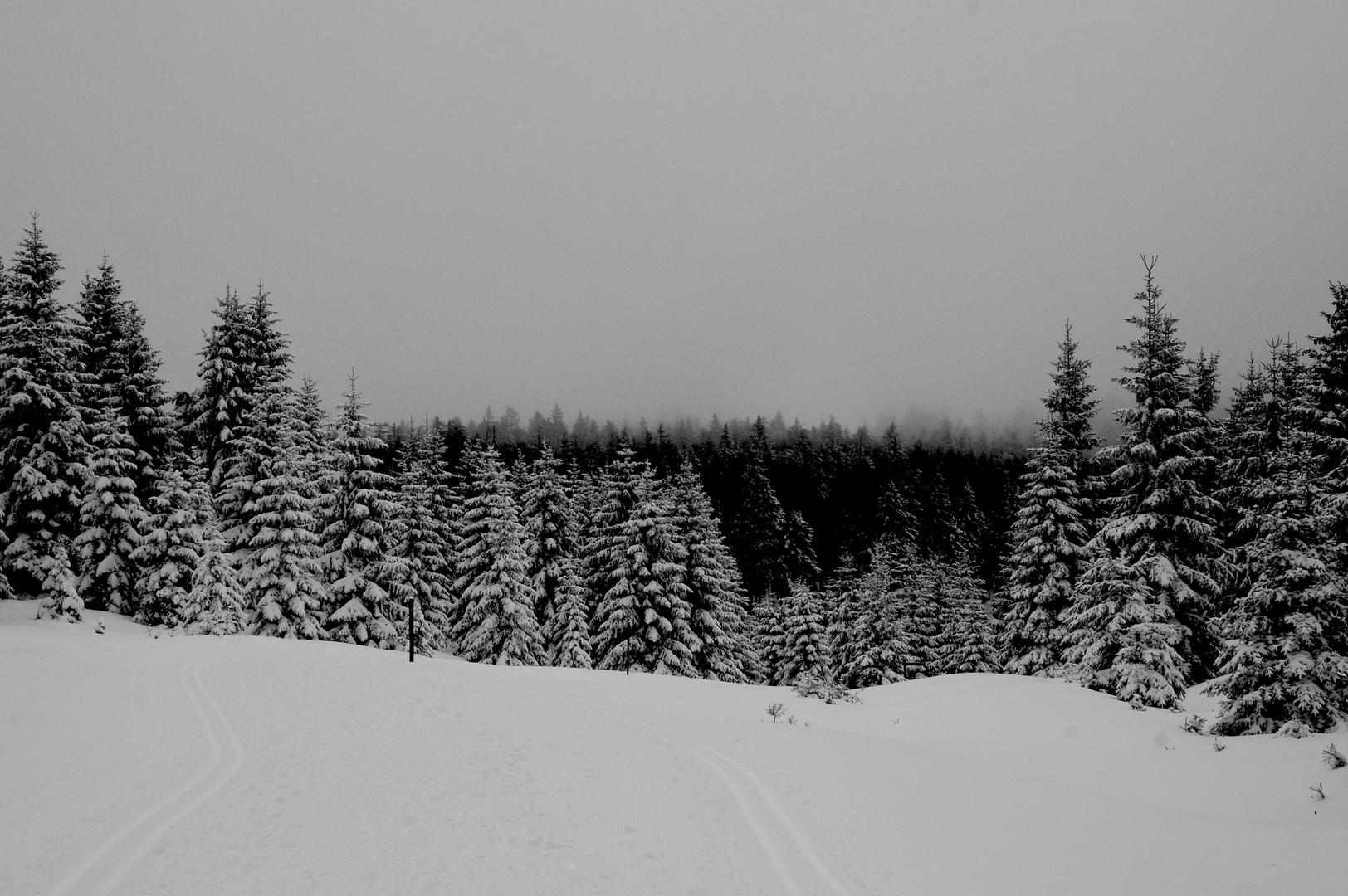 verschneite Tannen im Harz