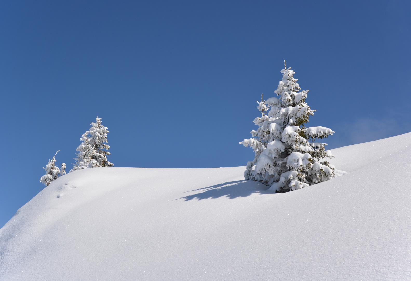 Verschneite Tannen im Tannheimertal