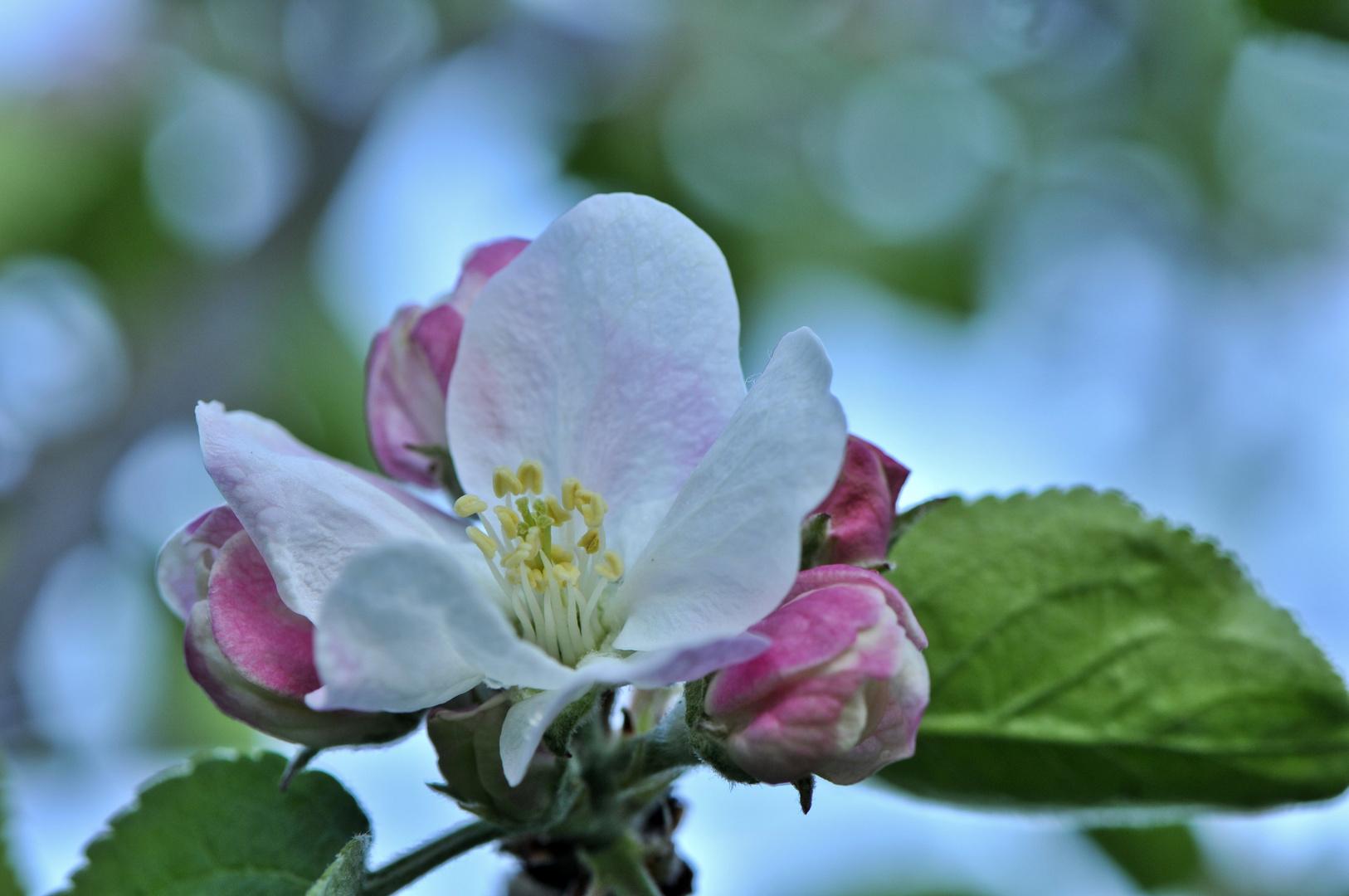 verspätete Apfelblüte