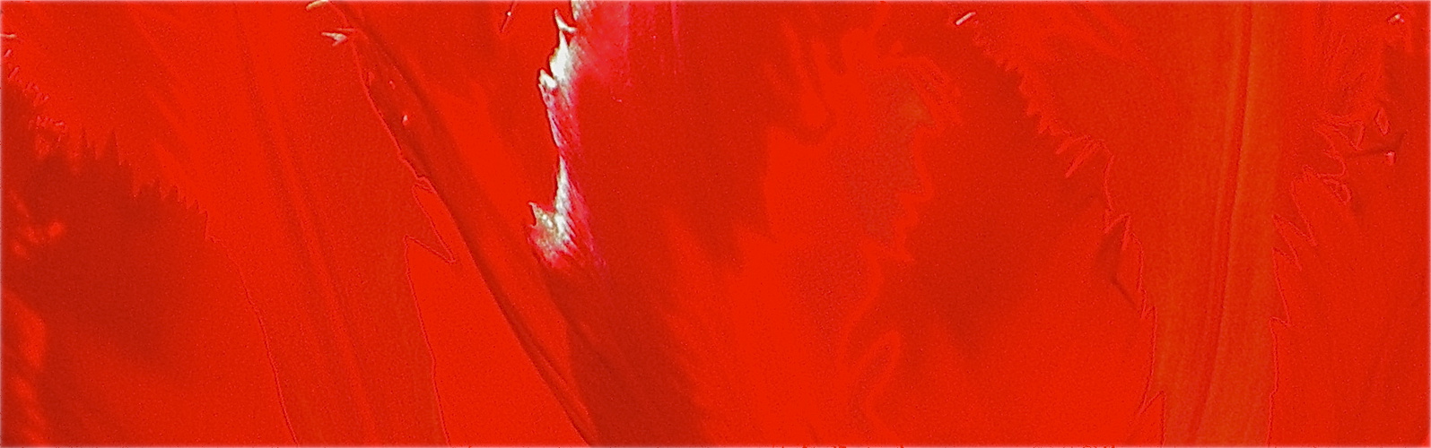 verspätetes Osterfeuer - Papageientulpe als Detail