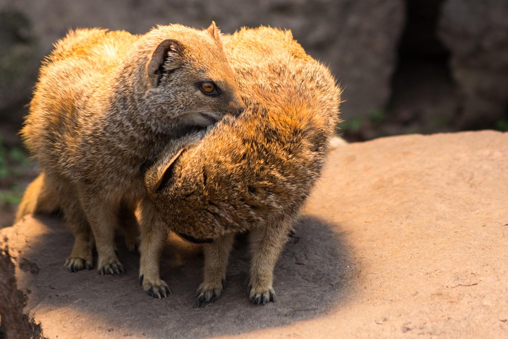 Verspielt - Fuchsmangusten im Zoo Halle
