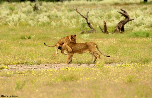 Verspielte Löwenkinder in Chudop