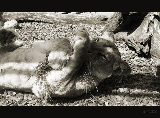 Verspielte Löwin