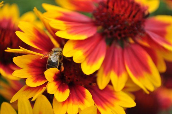 versteckte Biene