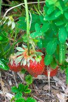 Versteckte Erdbeere