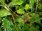 versteckte Erdbeerplantage