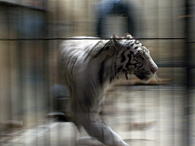 Verstörter Tiger