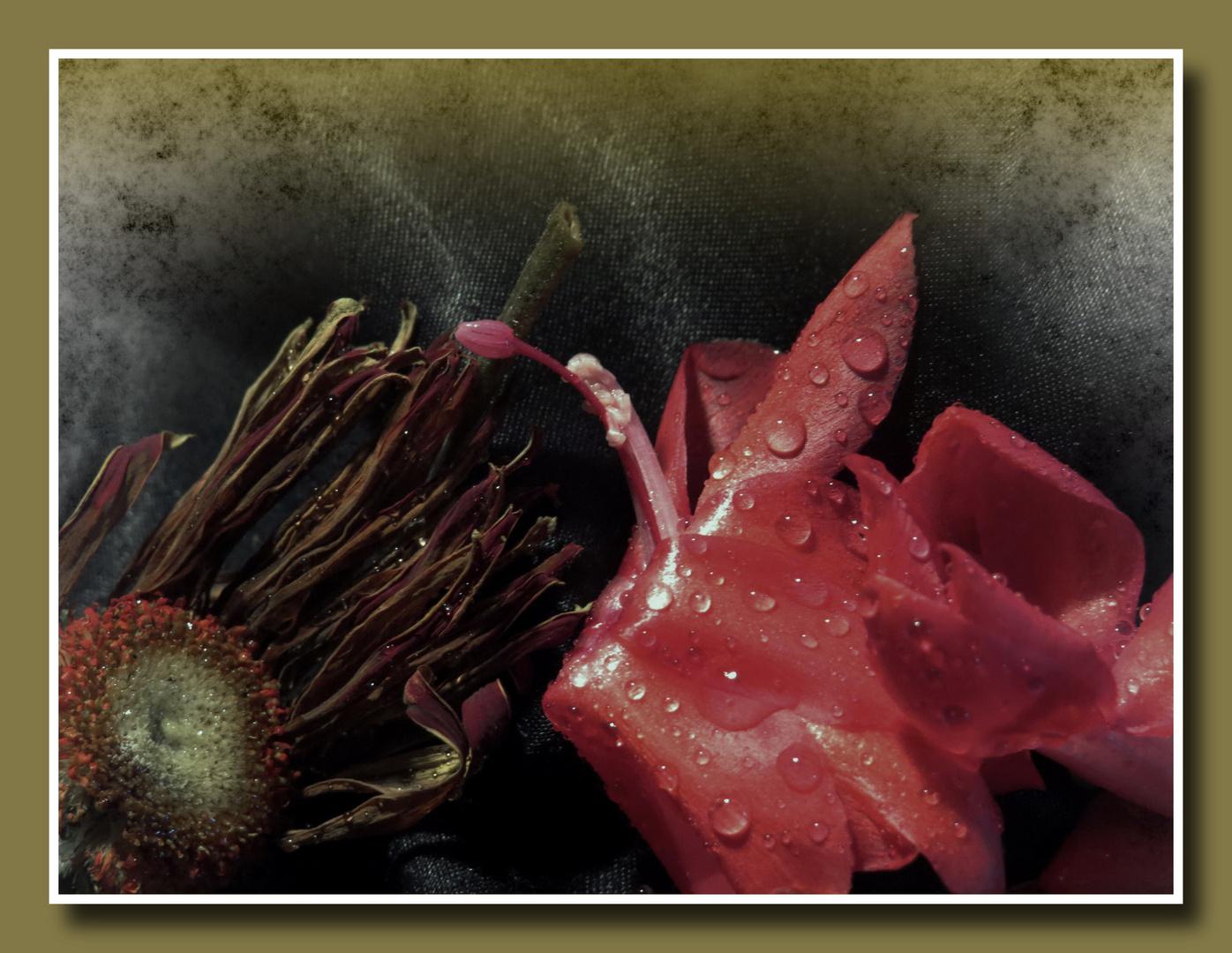 verstorbene Gerbera neben Kaktusblüte