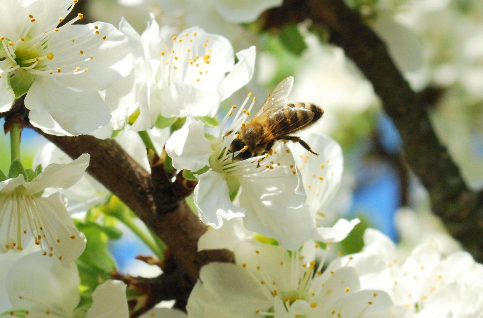 Versunken in einer Obstblüte