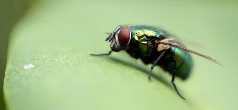 vert de mouche