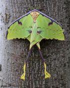 Vert papillon