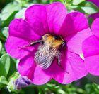 Vertiefte Biene