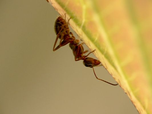 Verträumte Ameise