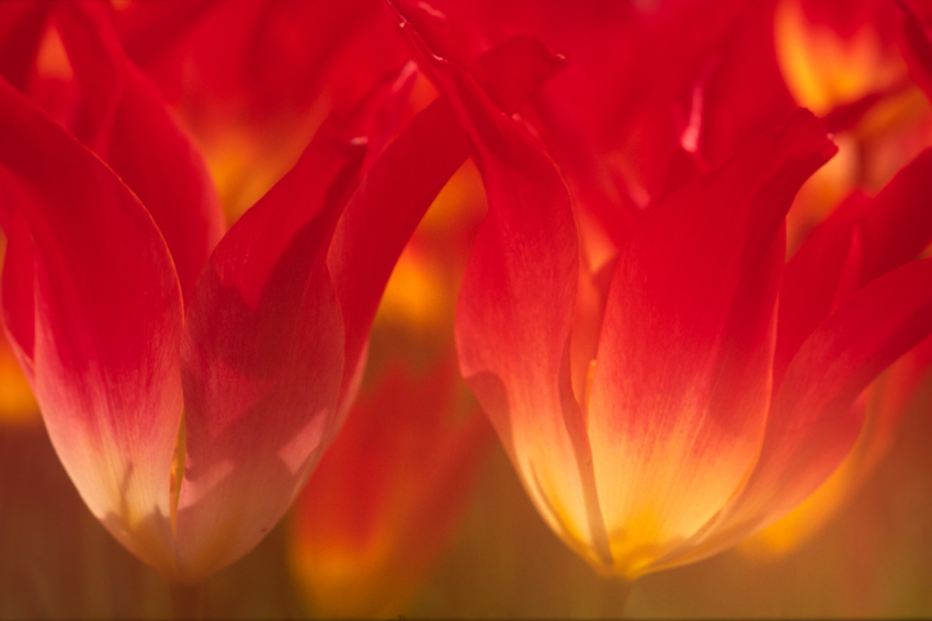 Verträumte Tulipanen