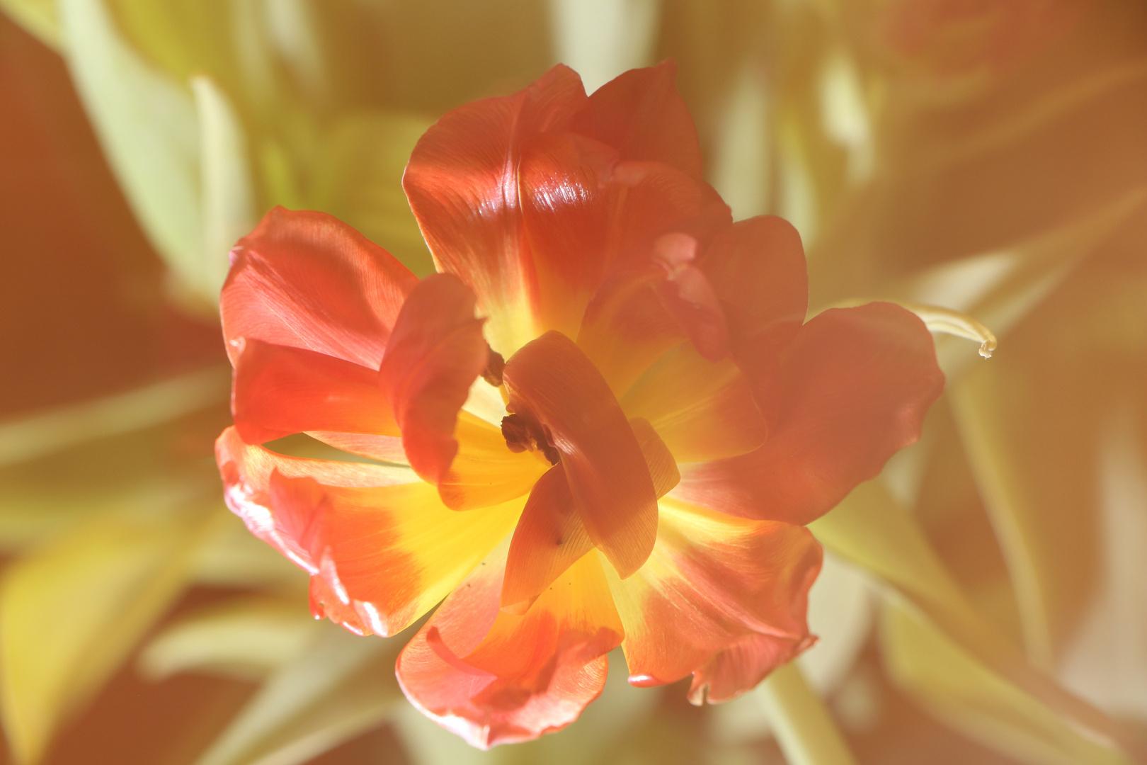 Verträumte Tulpe