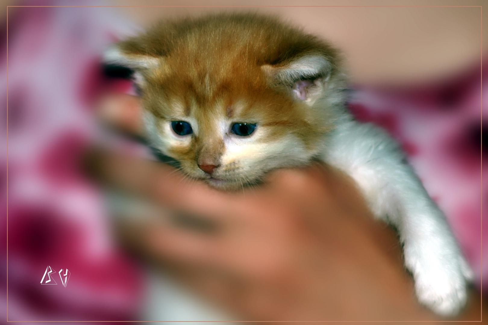 verträumtes Kätzchen