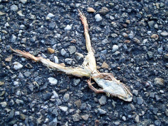 vertrockneter frosch am weg, 3.6.2005