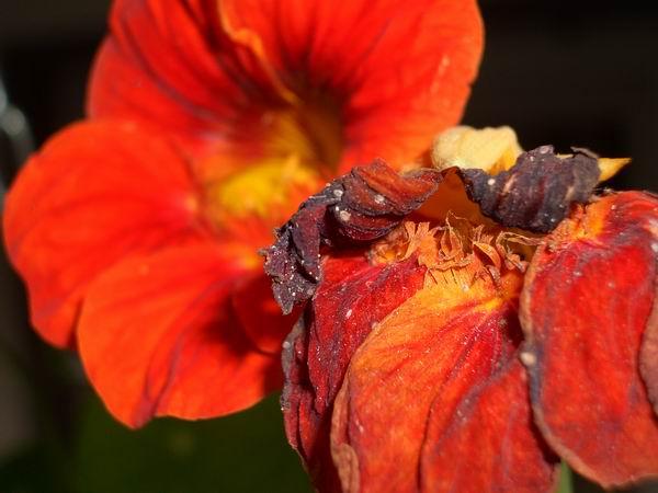verwelkte Blume
