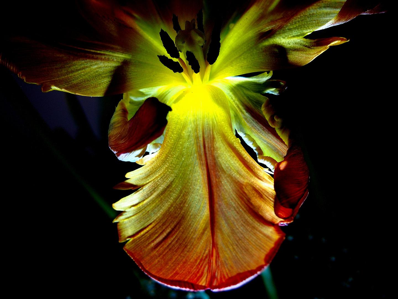 Verwelkte Tulpe