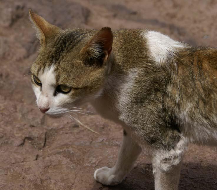 Verwildert Hauskatze in Äthiopien