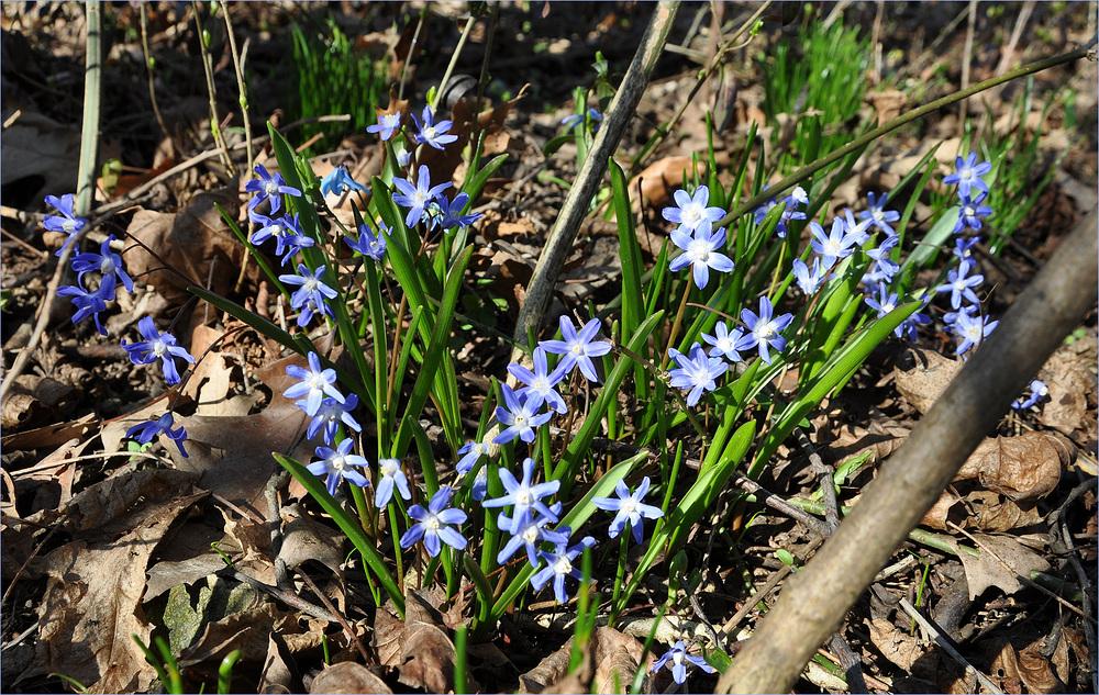 Verwilderte Blausterne, mitten im Wald gefunden..........