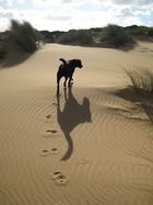 Verwilderter Hund in den Dünen
