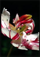 Verwirrte Tulpe