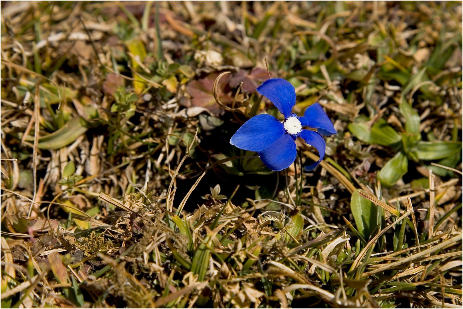 verwirrtes Schusternagele, glaubt es ist Frühjahr